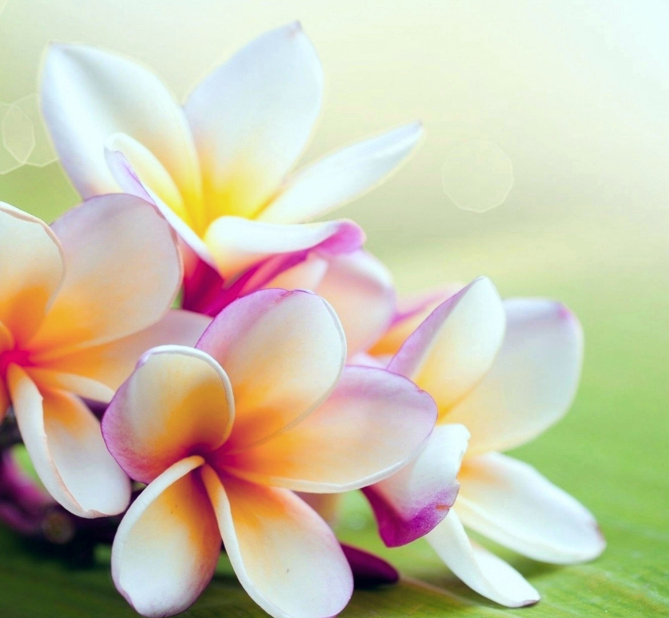 Pin On Plumeria And Orchid