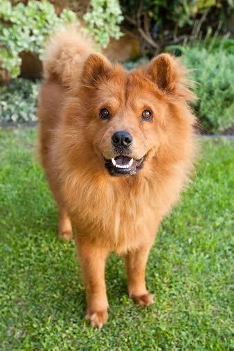 Adopt Yogi On Chow Chow Dogs Dogs Adoption