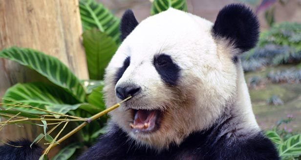 Panda bears facts | Bears | Pinterest | Bears, Giant pandas and ...