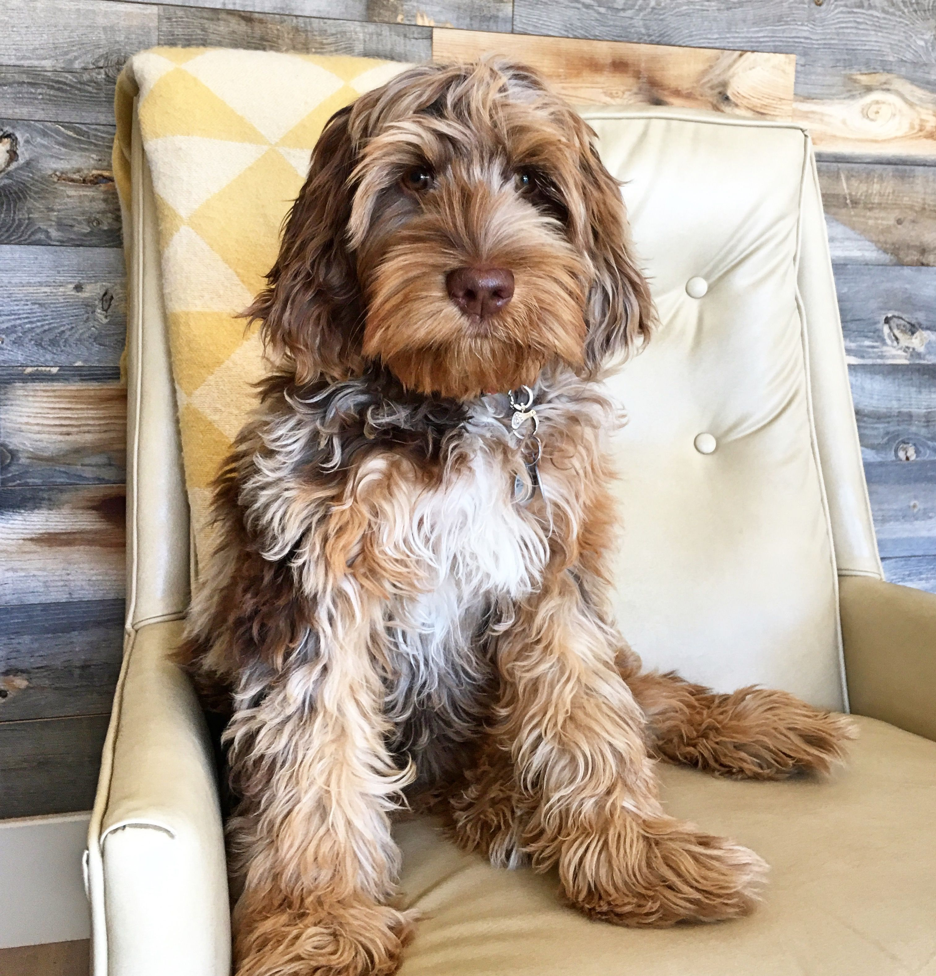 Multigen Australian Mini Labradoodle Quinn Doodle Is From Sugar
