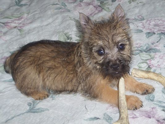 Cairn Terrier Puppy Breeder Cairnoodle Puppies For Sale Cairnoodles