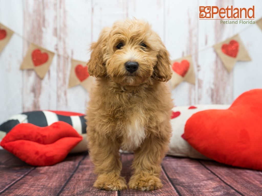 Puppies For Sale In 2020 Puppy Friends Puppies Mini Goldendoodle