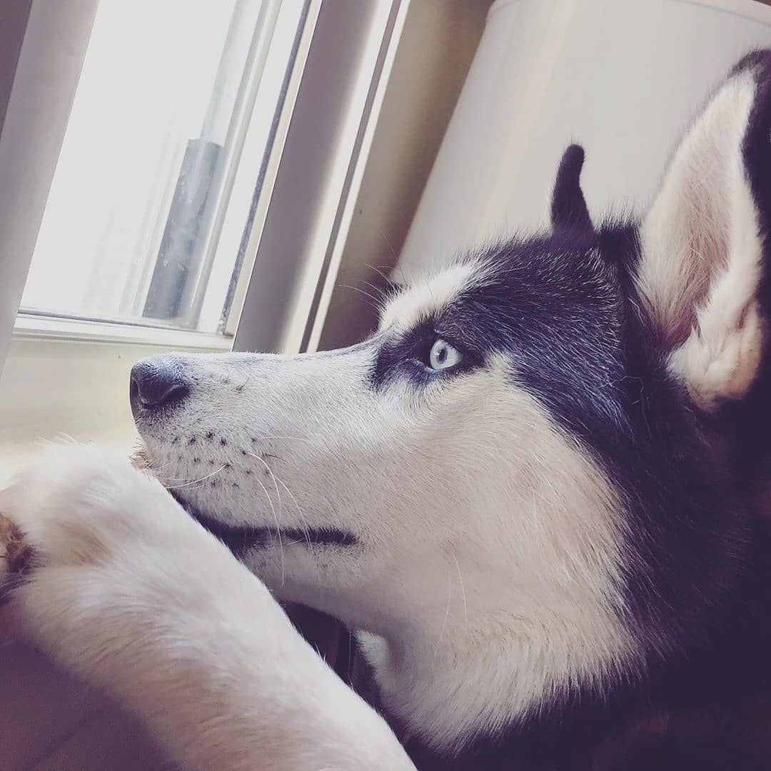 It S The Weekend And Sierra The Sassy Husky Is Dreaming Of