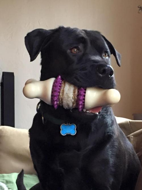 JAX is an adoptable Black Labrador Retriever, Mastiff Dog