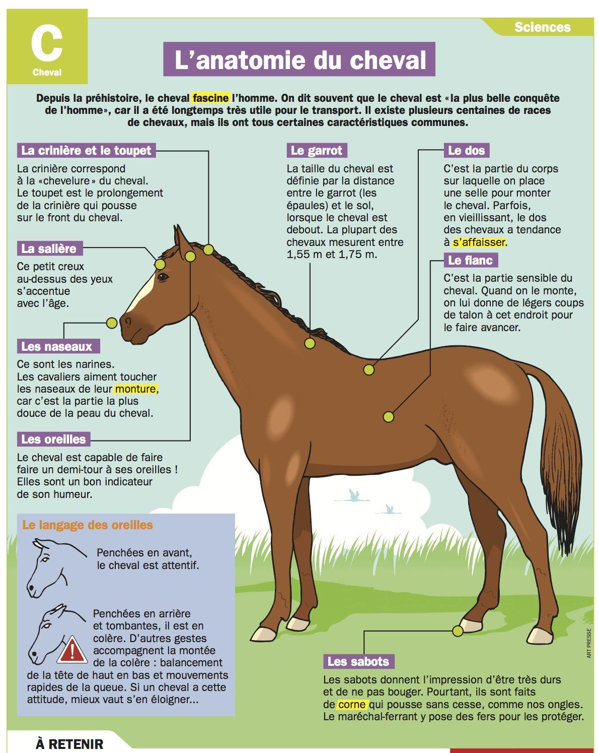 L\'anatomie du cheval   Pinterest   Französisch