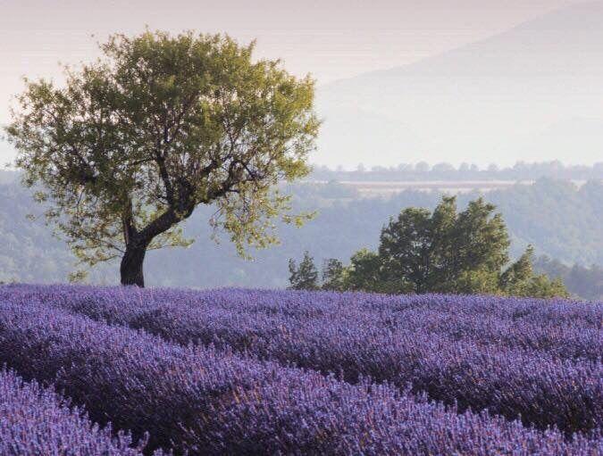 Lavendel Lavendel Lavendelfelder Lavendelkissen