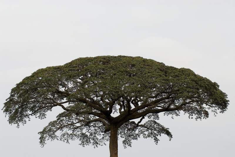 Moabi tree