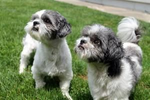 Mister Bailey Is An Adoptable Shih Tzu Dog In Syracuse Ny Mister