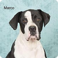 Great Dane Mix Dog For Adoption In Harrisburg Pennsylvania