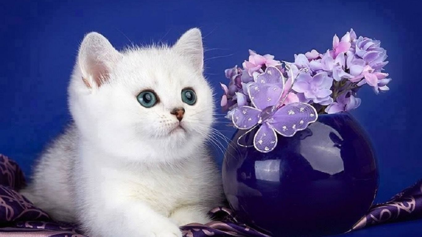 Cat Cute White Kittens Wallpapers