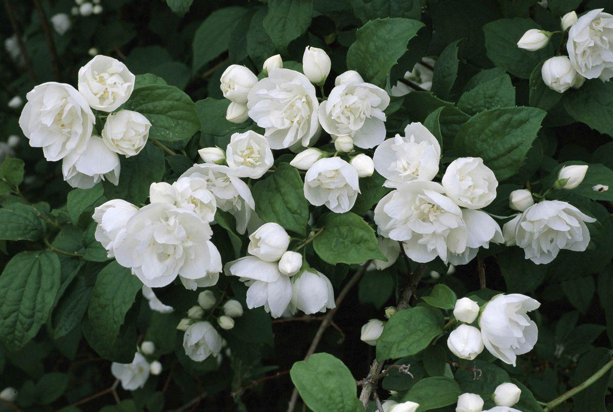 white flower with yellow center bush