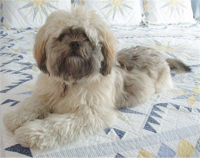 35 Unreal Shih Tzu Cross Breeds You Have To See To Believe Lhasa