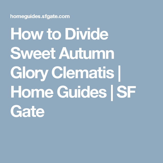 How To Divide Sweet Autumn Glory Clematis Tub Surround