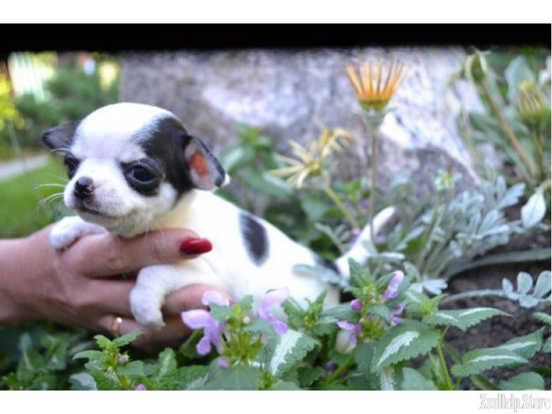 Chihuahua Puppies For Sale In West Virginia With Images Chihuahua