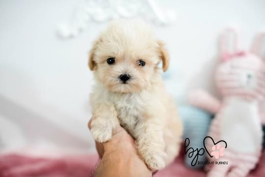 Reservation Deposit For USA Pups for Viewing Appointment ( Pups Not already at our boutique) #newpuppy Here you will find our newest puppies listed within the last 10 days. We update our new puppies on Tuesdays and Fridays with new adorable teacup puppies. Call 1-888-743-0325 for more information for available puppies. #cuteteacuppuppies