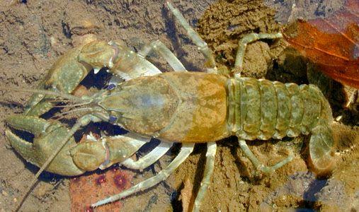 Crayfish (Cambarus)