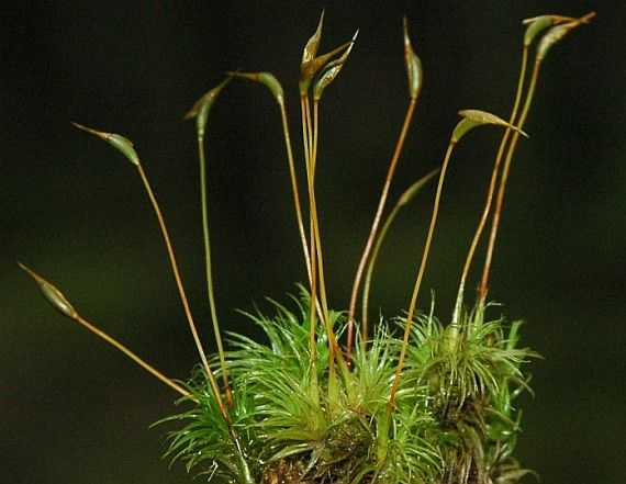 Dvouhrotec Chvostnatý V ČR hojný od nížin do alpínského pásma. Nejčastěji na kyselém humusu v jehličnatých i listnatých lesích. Rostliny vytvářejí rozsáhlé, lesklé, zelené trsy. Lodyhy až 10 cm vysoké. Vzácně plodný. Tobolka válcovitá, slabě zahnutá. Víčko dlouze zobanité.