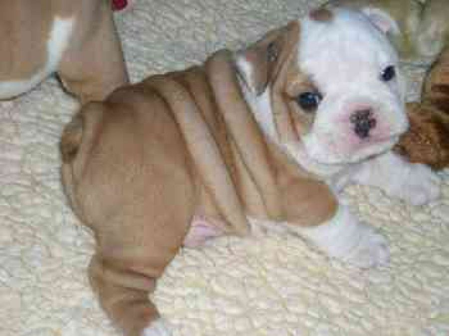 Male And Female Baby English Bulldog Puppies For Adoption For X Mass