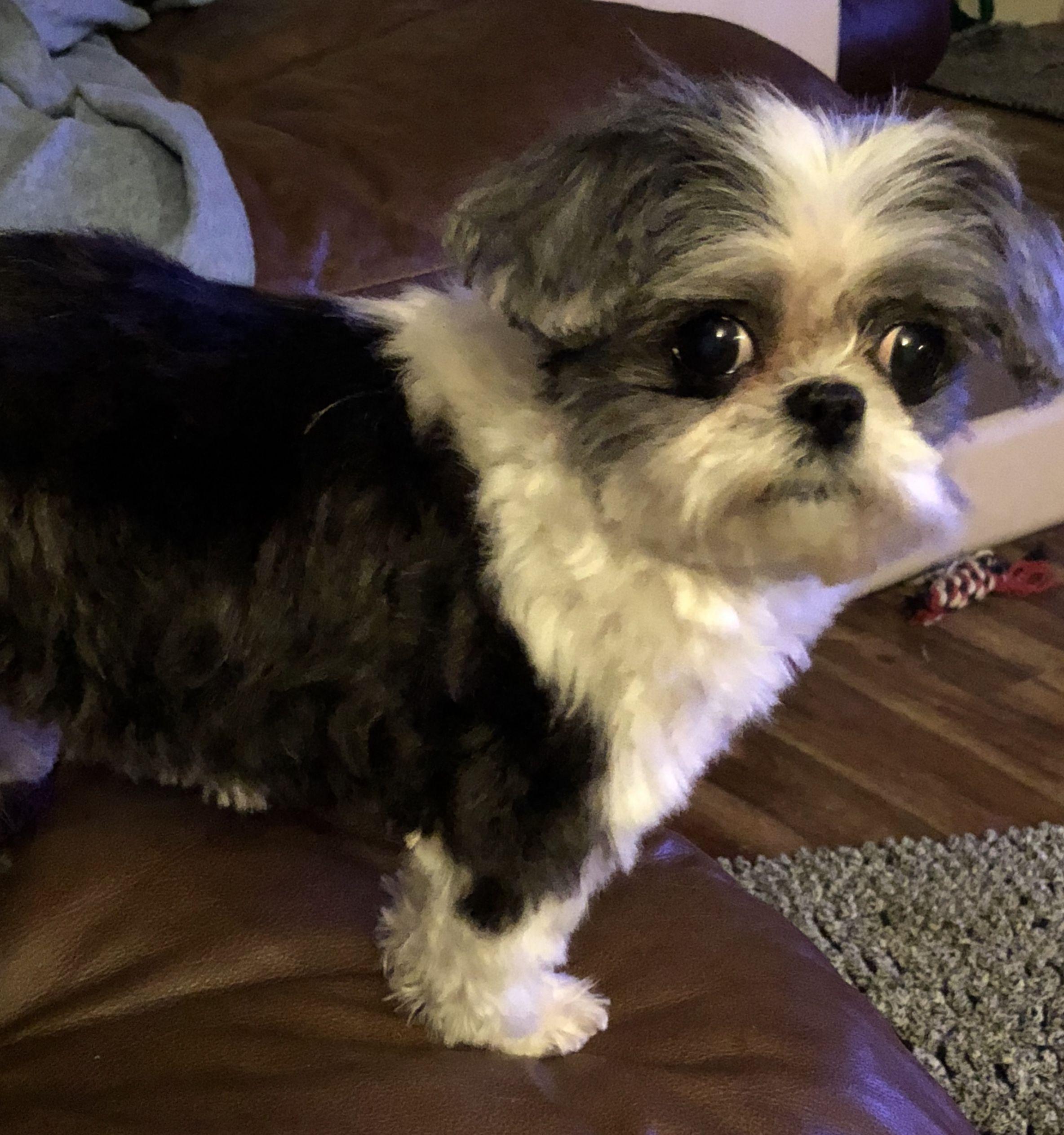 Shih Tzu dog for Adoption in Pataskala, OH. ADN772957 on