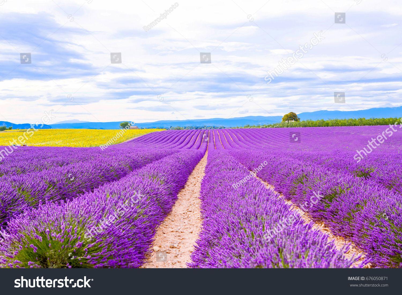 פריחת לבנדר ושדות חמניות ליד Valensole ב Provence צרפת שורות של פרחים סגולים וצהובים פופולרי יעד פופולרי עבור ת Sunflower Fields Photo Image Stock Photos