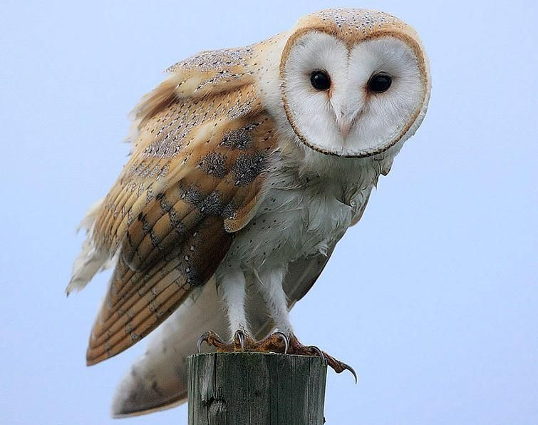 Barn Owl Abrupt Hissing Scream Given Mainly In Flight