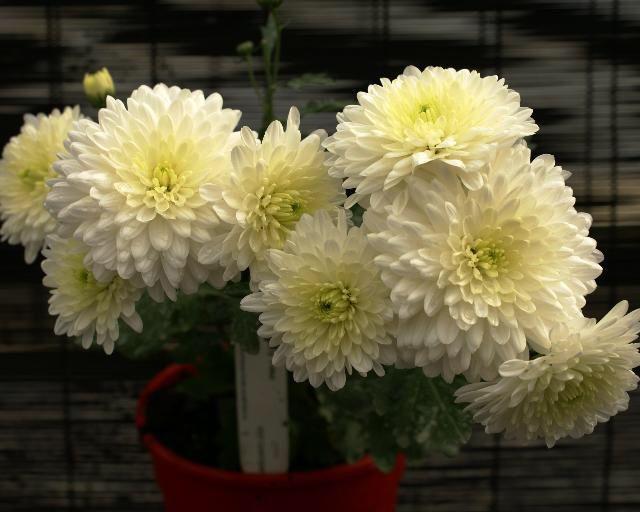 Image from http://www.propagation-australia.com.au/PottedPlants/Chrysanthemum/Cream/Ivory%20Time-02.JPG.