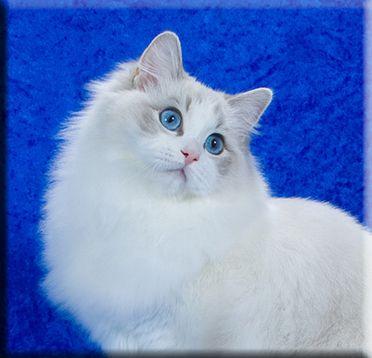 Michigan Ragdoll Cat Breeder Supurr Ragdolls Mi Kittens Ragdoll Cat Breeders Cat Breeder Ragdoll Cat