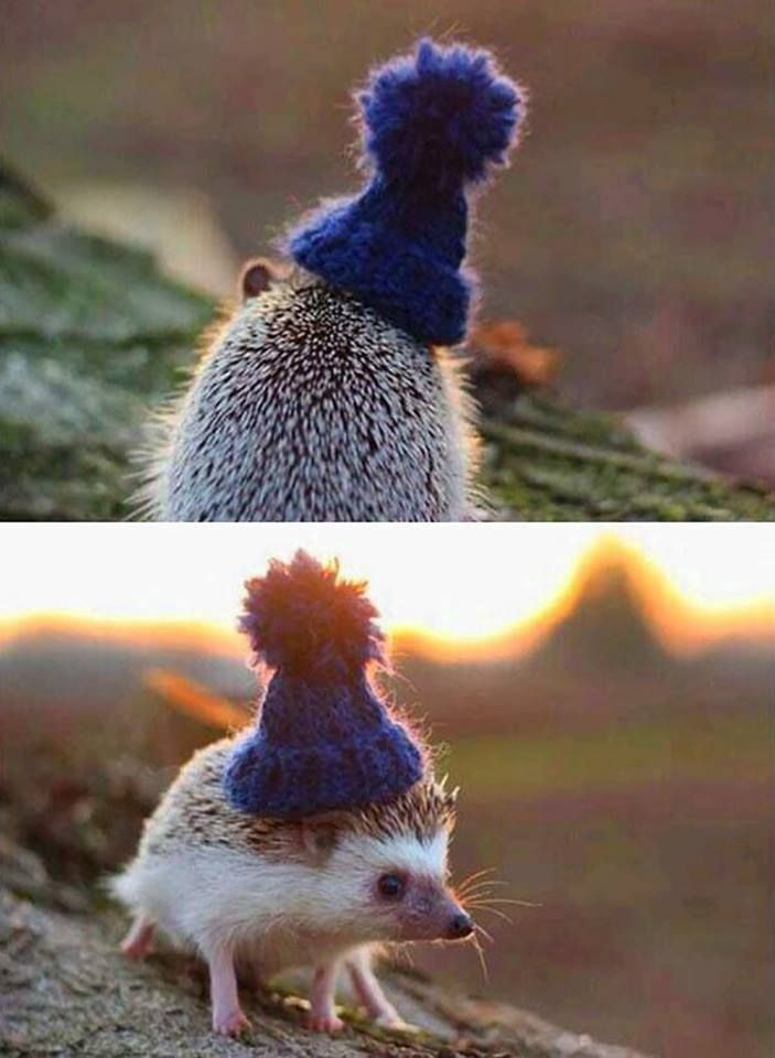 The little hedge with a cute blue hat | Hedgehog go ...