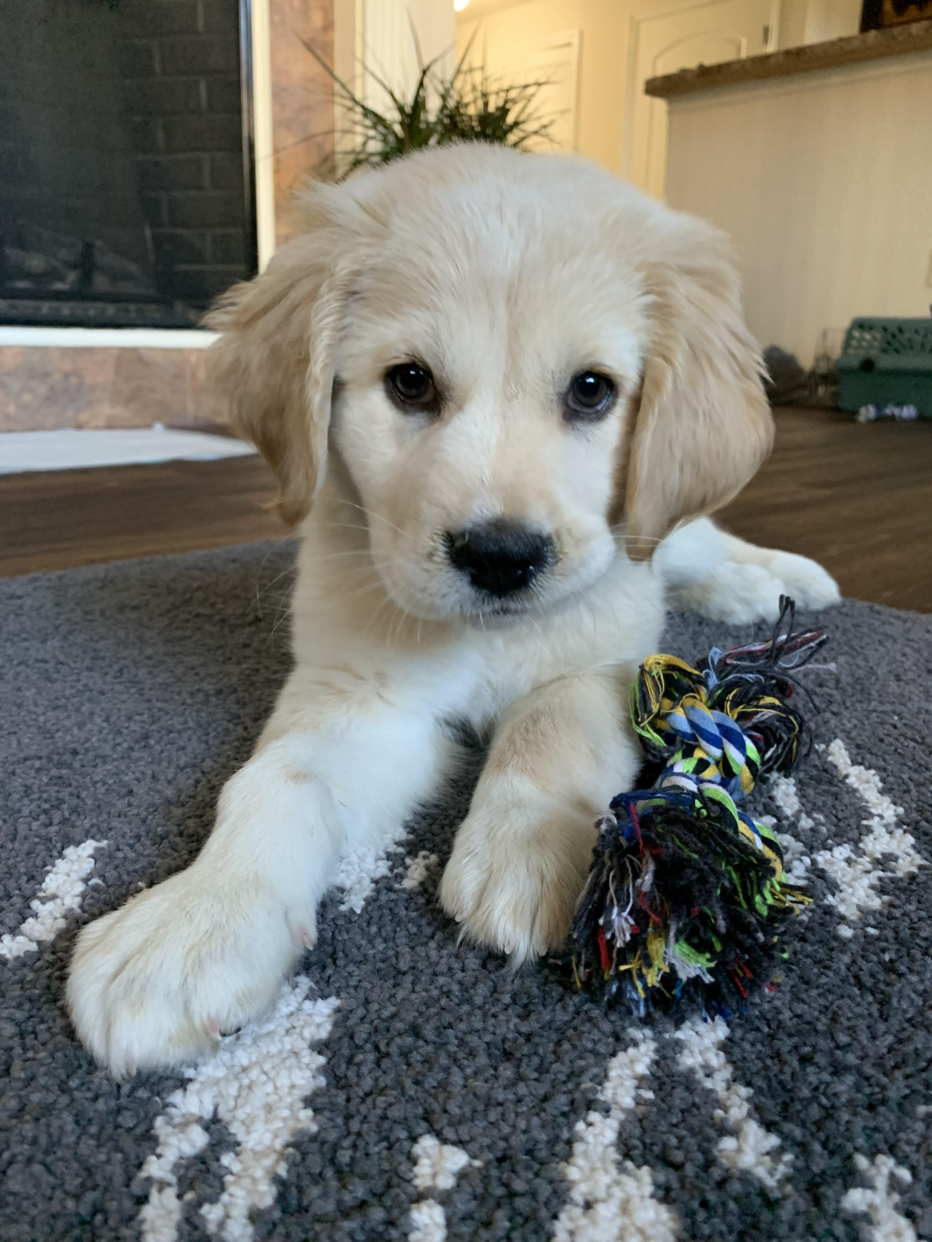 My New Boy Apollo Goldenretriever Cute Dogs Puppies Pet Pug