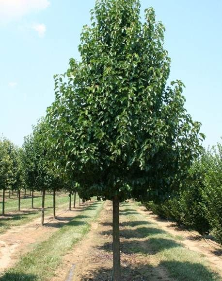 Chanticleer Pear Ideally suited for avenue plantings & feature ...