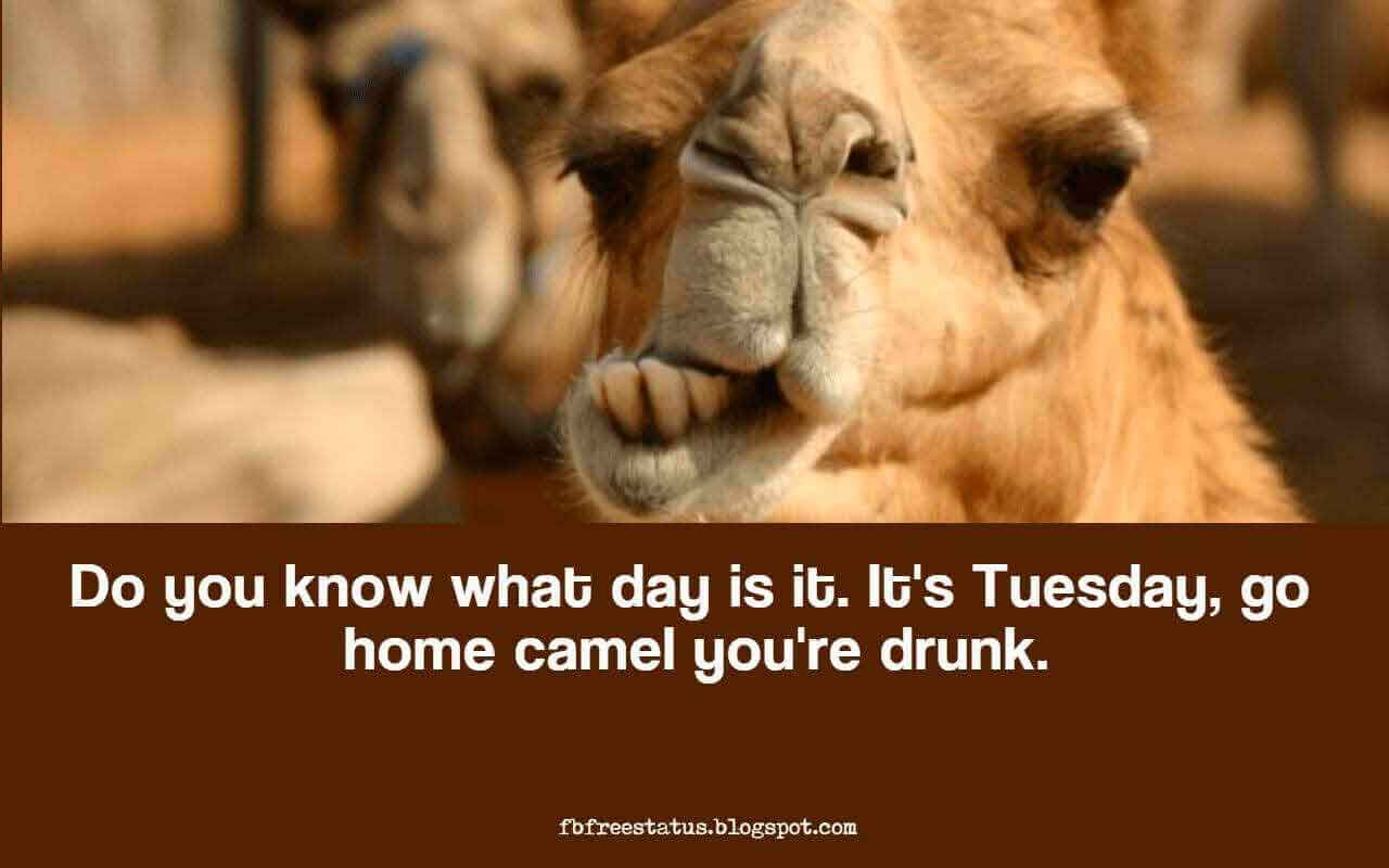 Its tuesday go home camel youre drunk funny tuesday quotes