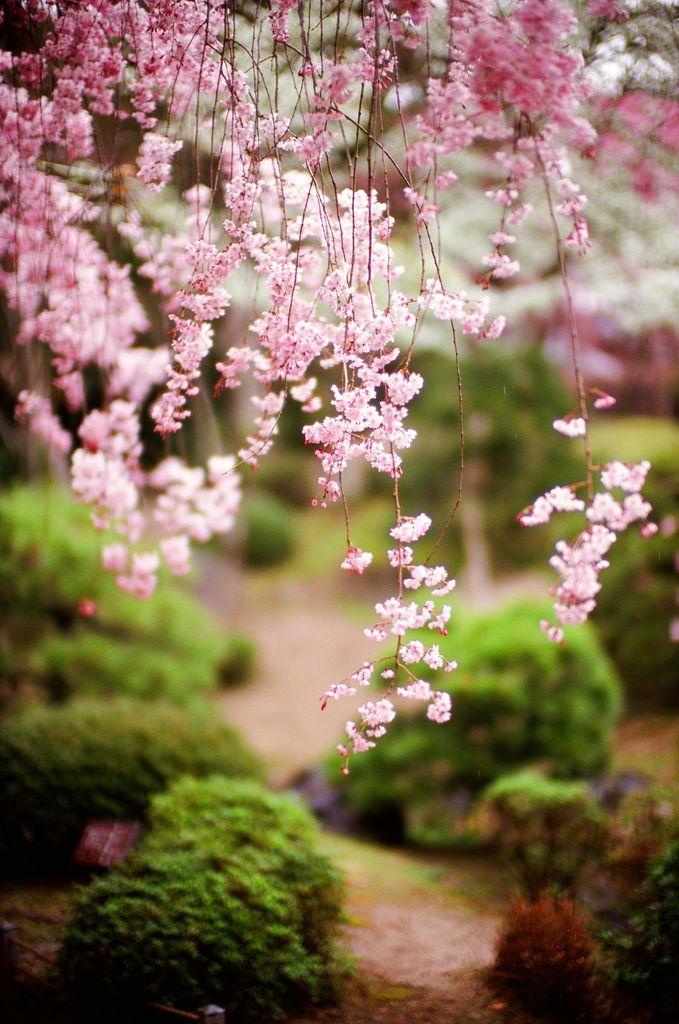 d95250dd29 Dit is een mooie bloesemboom die vol in bloei staat! Deze komen in de lente  weer in bloei. Wij hebben er al zin in, hoe zit dat met jullie?