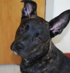 Dutch is an adoptable Dutch Shepherd Dog in Vineland, NJ. Dutch is a wonderful, six month old Dutch Shepherd mix pup. He is calm and easy going, and a very intelligent dog. Dutch loves people and gets...