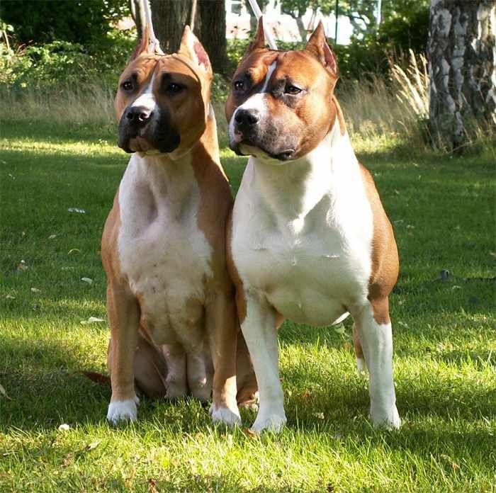 Amerikai Staffordshire Terrier Pitbulterier Terier Pejskove A