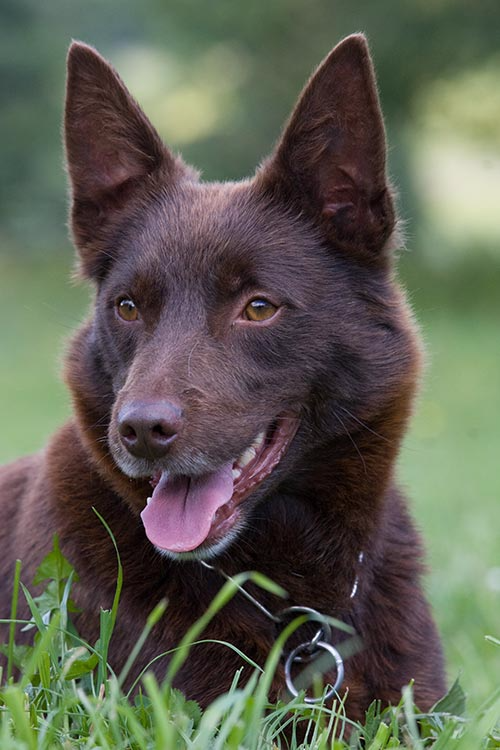 Australian Kelpie Dog Breed Information - American Kennel Club