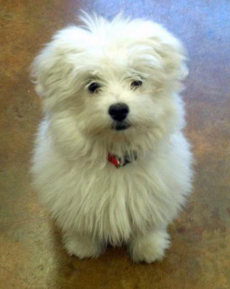Maltese   Pomeranian mix puppies, Animals beautiful, Cute ...