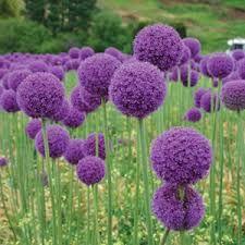 Allium Giganteum In 2020 Prachtige Tuinen Bloem
