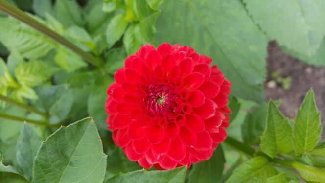 Red dhalia