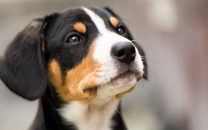 Black White Brown Dog Face Hd Wallpaper In 2020 Dog Face Dog Background Brown Dog