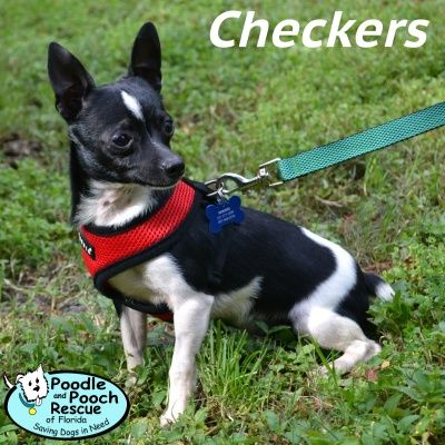 Checkers Is A 2 Year Old 7 Pound Chihuahua Boy Poodle And Pooch Rescue Adoptable Dogs Www Pprfl Org Dog Adoption Pooch Dogs
