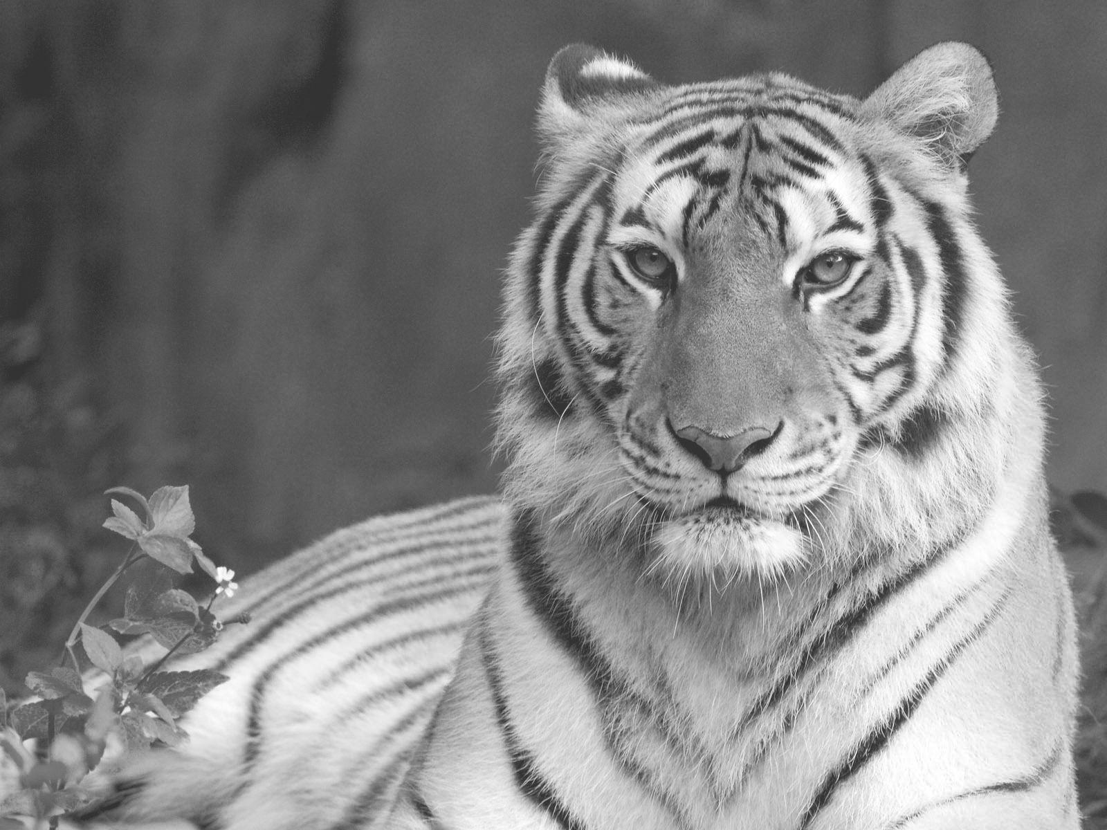 Kleurplaten Dieren Tijgers.Kleurplaat Tijger Coloring Tigers Tiger Wallpaper Tiger