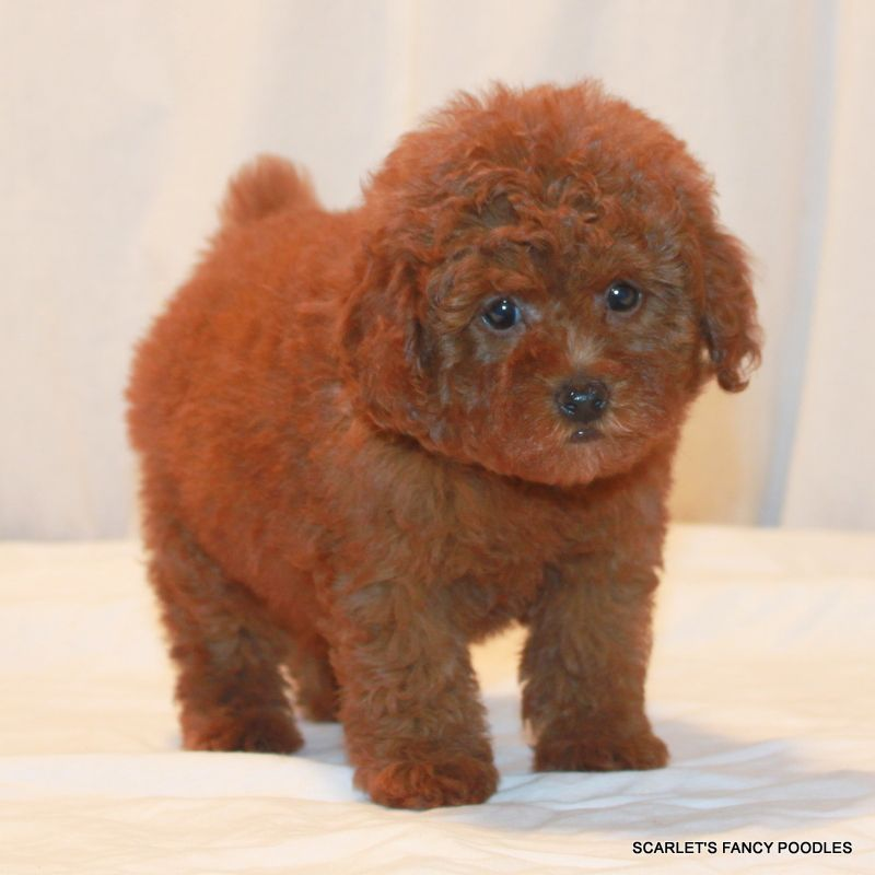 Red Teddy Bear Poodle Scarlet S Fancy Poodles Rosie S Girl Akc