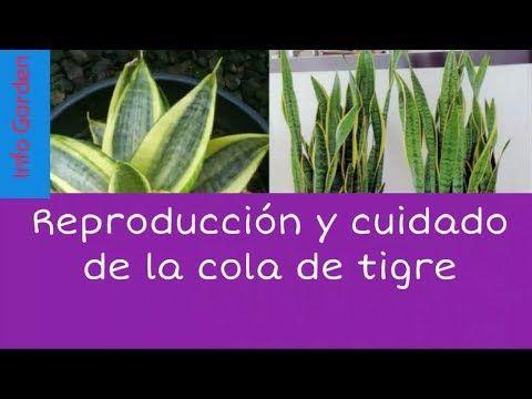 Como Cuidar Y Reproducir La Planta Cola De Tigre O Lengua De Suegra Sanseviera Trifasciata Yout Lengua De Suegra Planta Lengua De Suegra Cuidado De Plantas