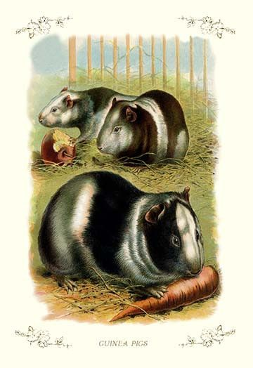 Guinea pigs eating fruit. High quality vintage art reproduction by Buyenlarge…