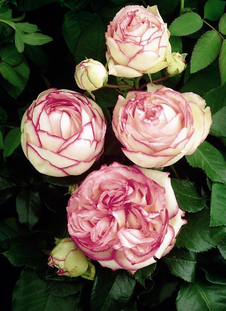 zwergrose biedermeier rosen pinterest rose blumen und rosengarten. Black Bedroom Furniture Sets. Home Design Ideas