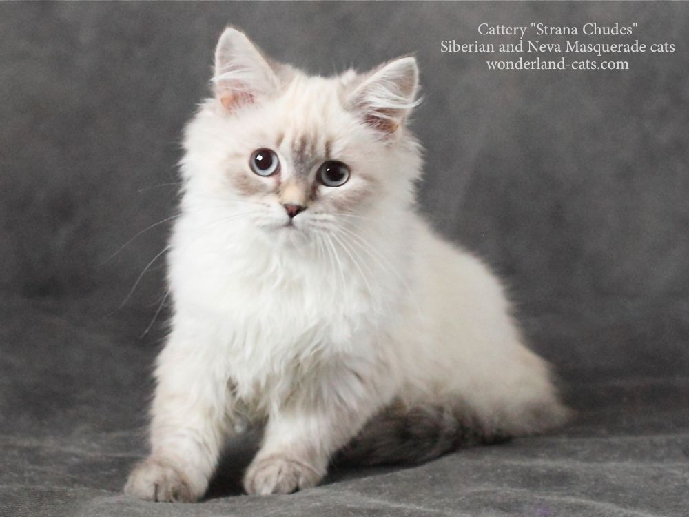 Russian Siberian Neva Masquerade Beautiful Cute Funny Kitten Color Blue Tabby Point Blue Eyes In The Cattery St Siberian Cats For Sale Kittens Funny Cats