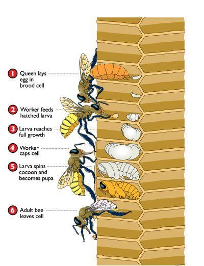 Anatomy Of A Bee Grandbebes Pinterest Bee Bee Keeping And Honey