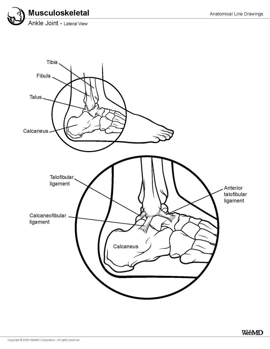 Foot Bone Anatomy: Overview, Tarsal Bones - Gross Anatomy ...