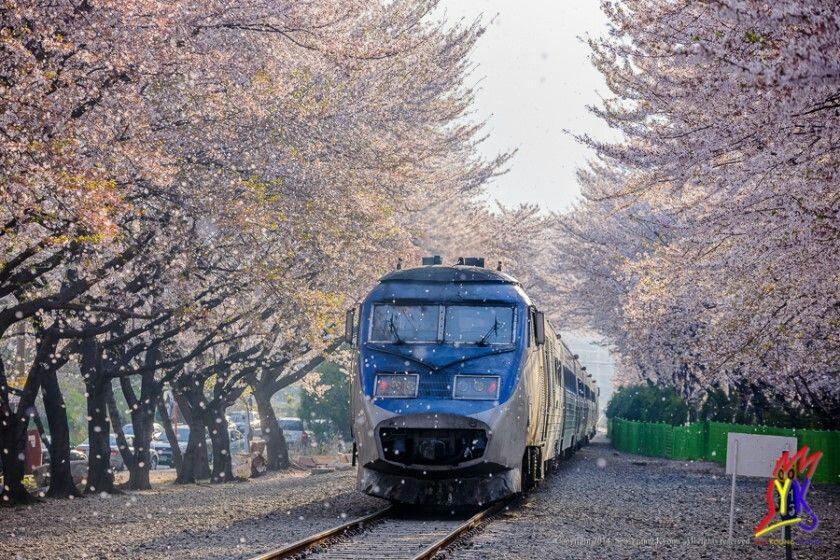 Cherry Blossom, South Korea