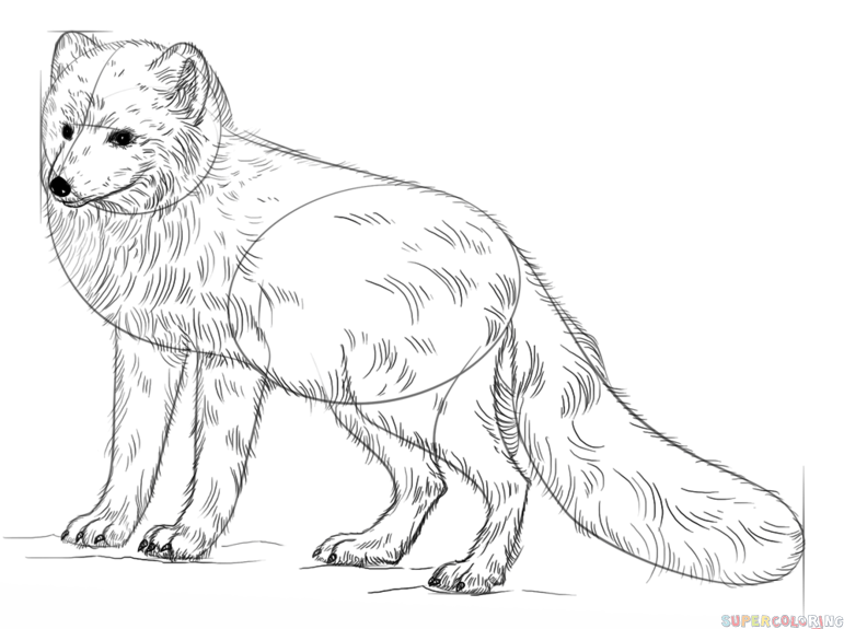 Realistic Fox Drawing Tutorial Contour The Arctic Fox Trying To Vary The Thickness And Darkness Of Fox Coloring Page Fox Drawing Tutorial Fox Drawing